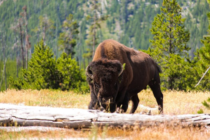 Wild Bison Will Be Released In the UK – English Language Exercise
