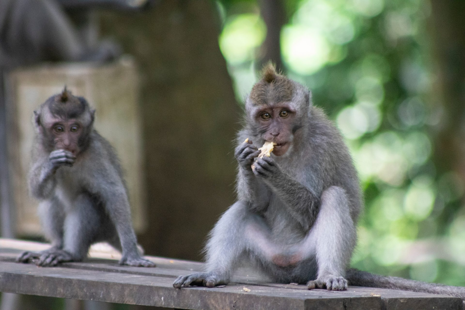 Learn English with the News – Without Tourists, Monkeys Begin Stealing from Homes in Bali